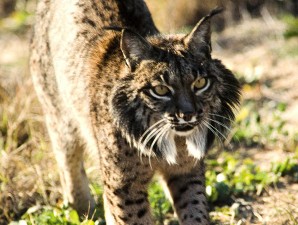 lince_