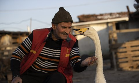 Friendship for 37 years between postman and swan